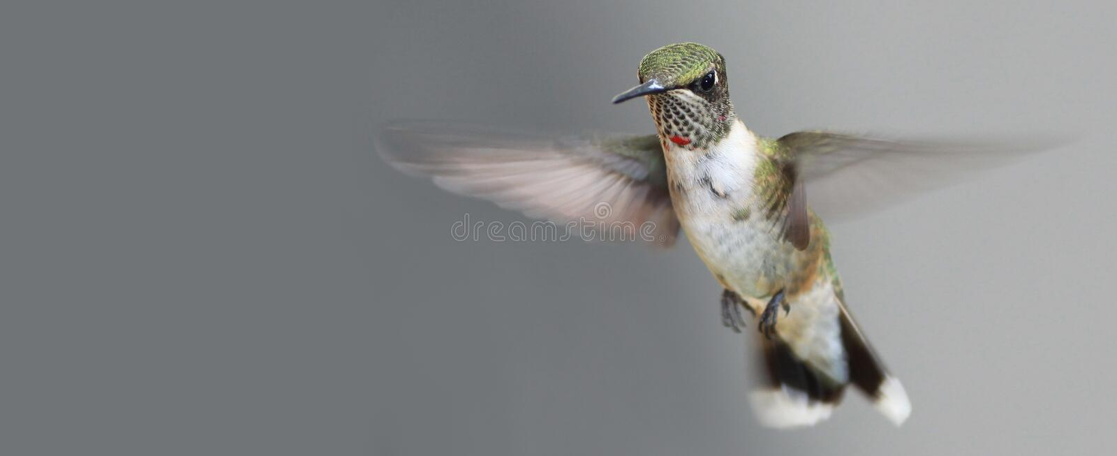 Download HB3 stock photo. Image of flight, male, green, throated - 34085352
