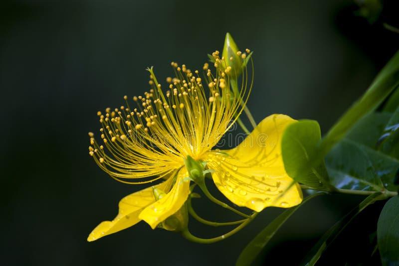 Hd花材料、黄色瓣和雄芯花蕊 库存照片