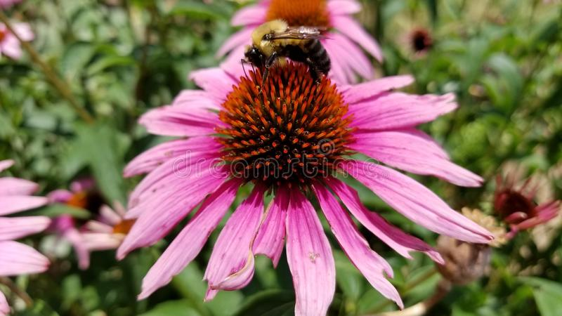 HD μέλισσα στο λουλούδι στοκ εικόνα