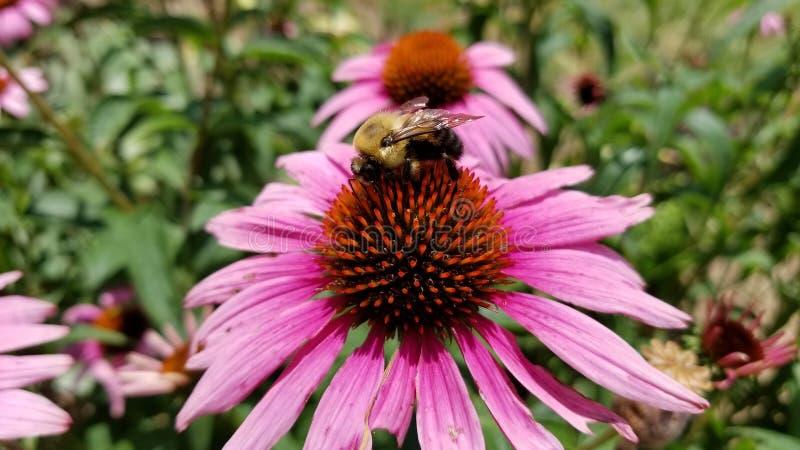 HD-bi på blomman arkivfoto