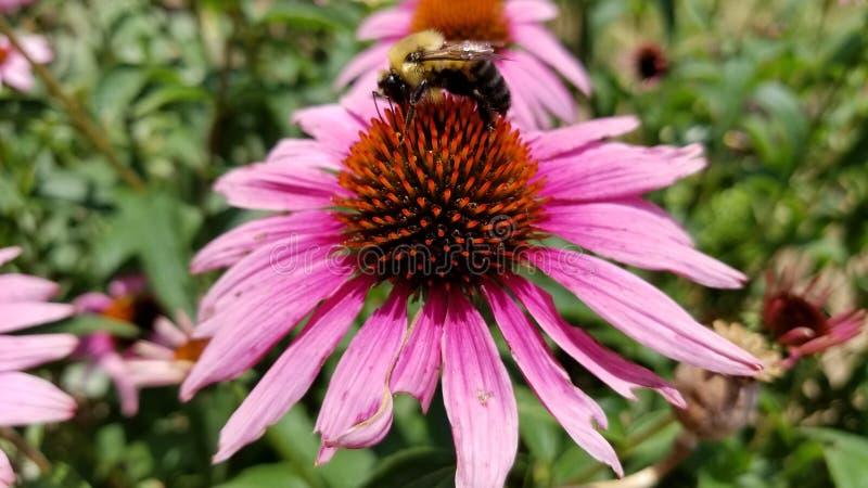 HD-bi på blomman fotografering för bildbyråer