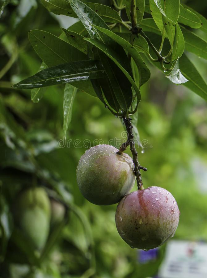 HD Mango Image, Green blur background, Mango fruit hanging on mango tree stock photos