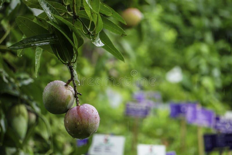 HD-mangobild, grön bakgrund, mangofrukt som hänger på mangoträd arkivfoto