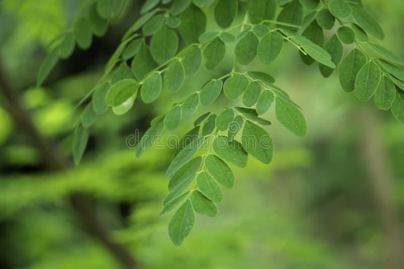 HD naturale Moringa lascia il fondo verde immagine stock libera da diritti