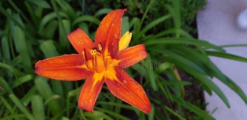 HD oranje bloem royalty-vrije stock afbeelding