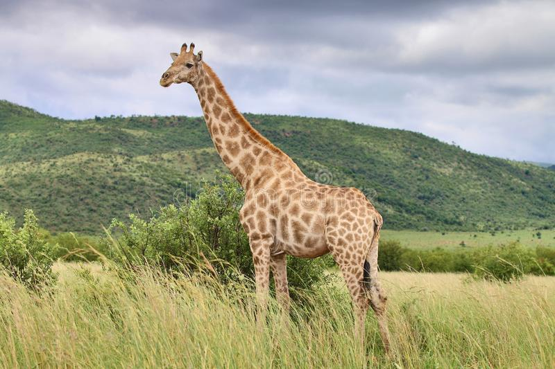 HD Picture of Giraffe against backdrop of Green Mountain stock photos