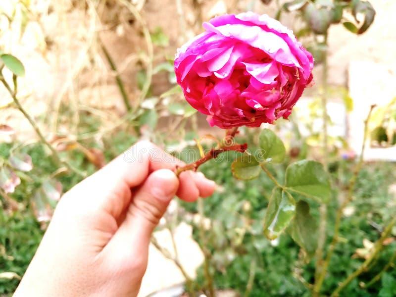 Hd roze bloem stock afbeeldingen