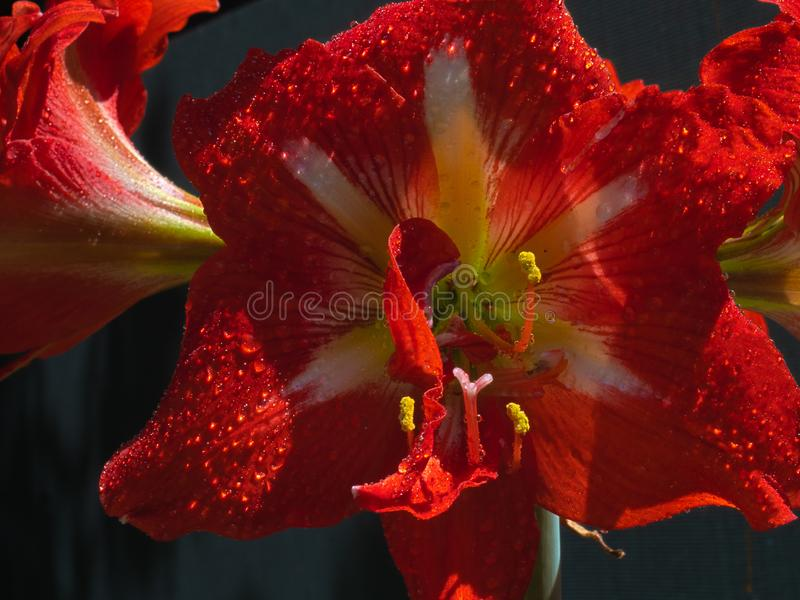 HDR Amaryllis flower 3 stock images