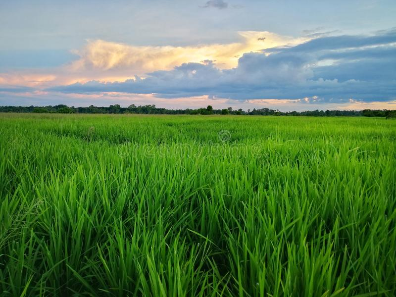 Beautiful view of rice paddy field during sunset in Malaysia. Nature composition. Hdr beautiful view rice paddy field sunset malaysia nature composition stock photography