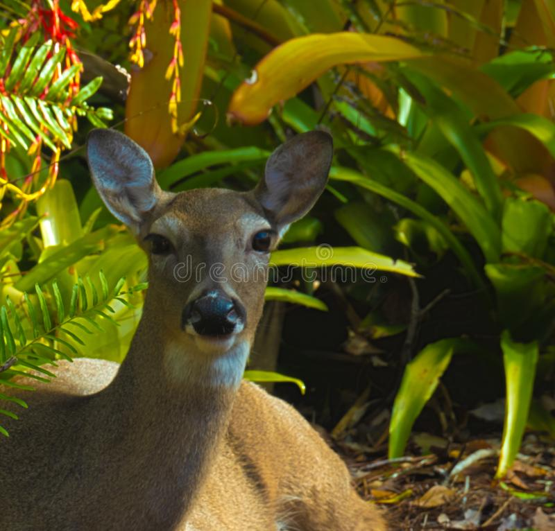 HDR Close up deer bedding royalty free stock photo