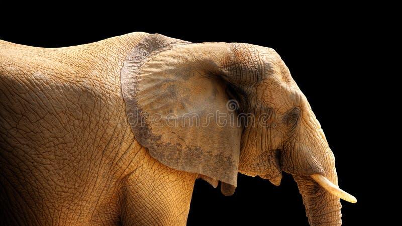 Download HDR Elephant Isolated On Black Stock Photo - Image: 6009094