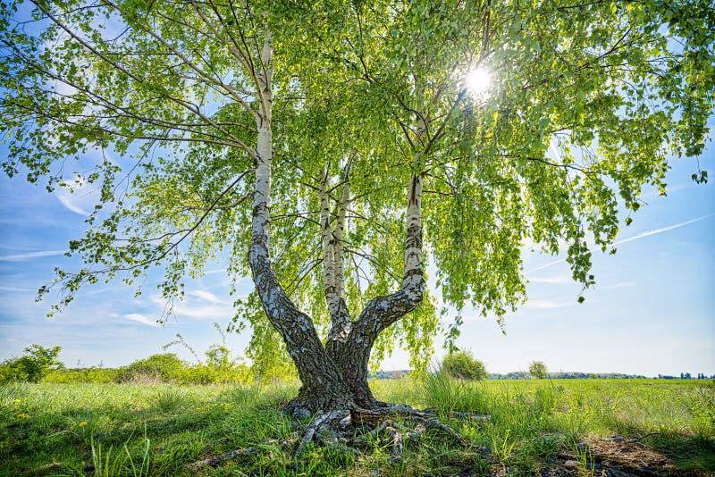 HDR ha sparato di un albero di betulla fotografia stock libera da diritti