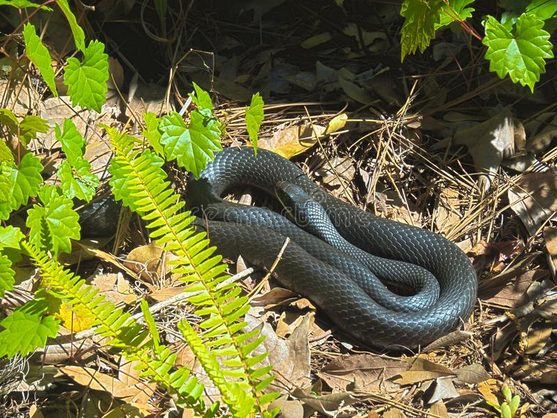 SOUTHERN BLACK RACER COLUBER CONSTRITOR. HDR PHOTO IMAGE OF A SOUTHERN BLACK RACER COLUBER CONSTRITOR SUNNING royalty free stock photos