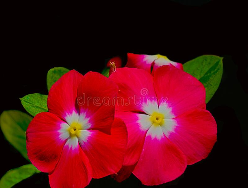 HDR Photo of a red, pink Petunia plant 2 stock image