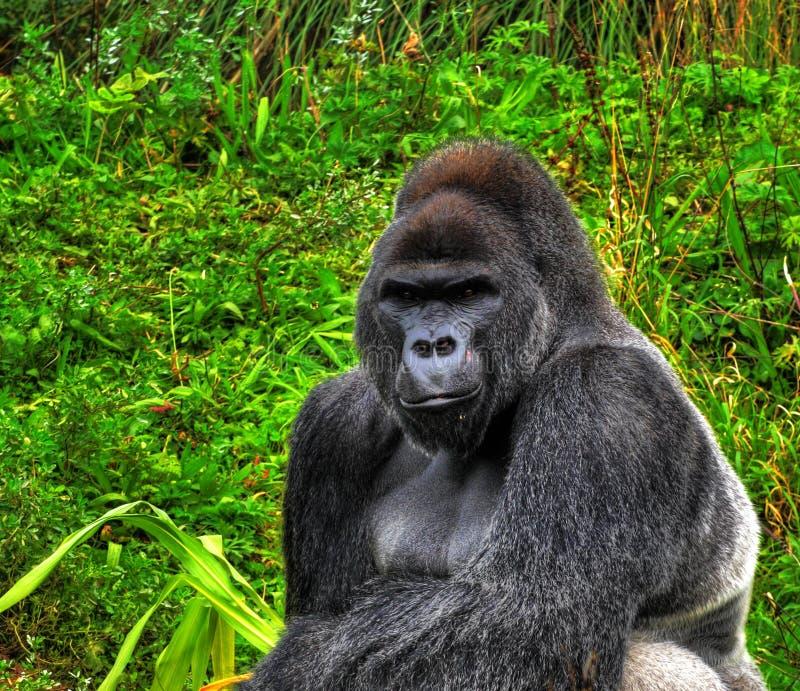 Download HDR Silverback Gorilla Royalty Free Stock Image - Image: 6633366