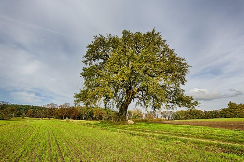 Hdrspruit van een lindeboom royalty-vrije stock afbeeldingen