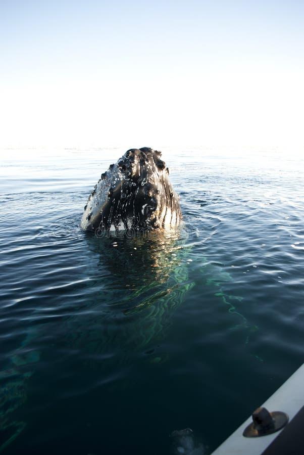 Head-1 della balena di Humpback. immagine stock