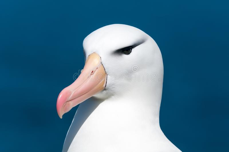 Head of adult Black-browed Albatross, West Point Island, Falkland Islands stock photo