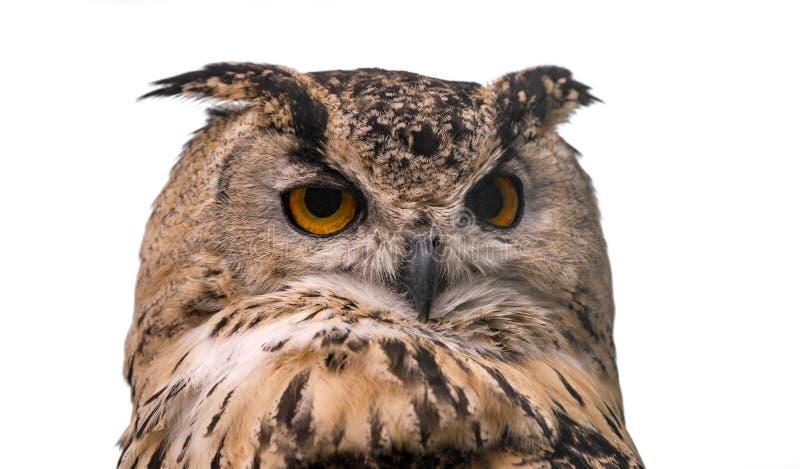 Head of adult Eurasian eagle owl, isolated on white background. The horned owl stock photo