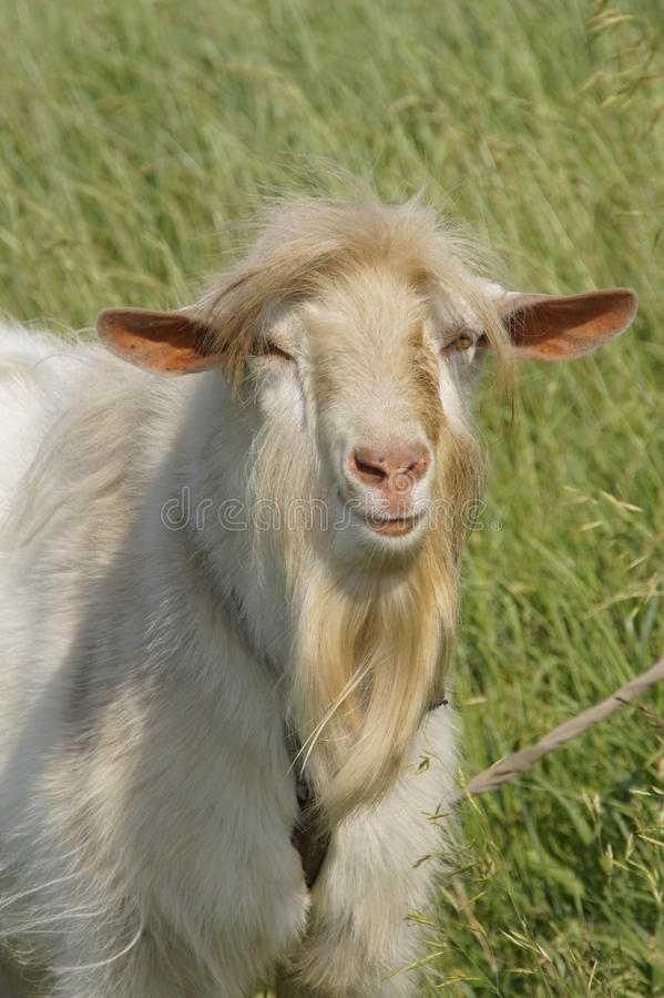 Head of adult goat. Adult goats on the meadow looks in the camera stock images
