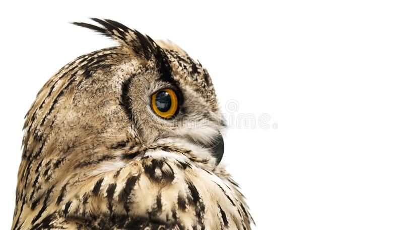 Head of adult horned owl in profile isolated on white stock images
