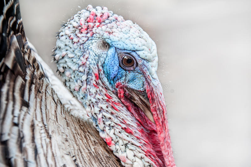 Head of an adult Turkey with beak and eyes closeup horizontal layout stock photo