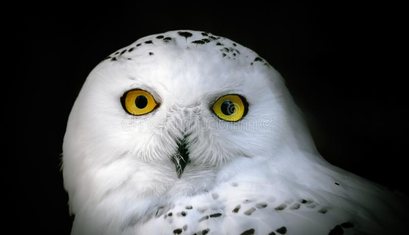 Head of adult white snowy owl close up on a black royalty free stock images