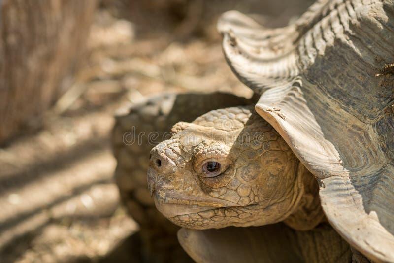Head of Aldabra giant tortoise Aldabrachelys gigantea royalty free stock image