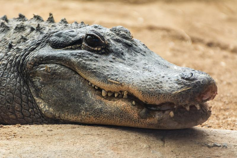American alligator Alligator mississippiensis. Head of an American alligator Alligator mississippiensis stock images