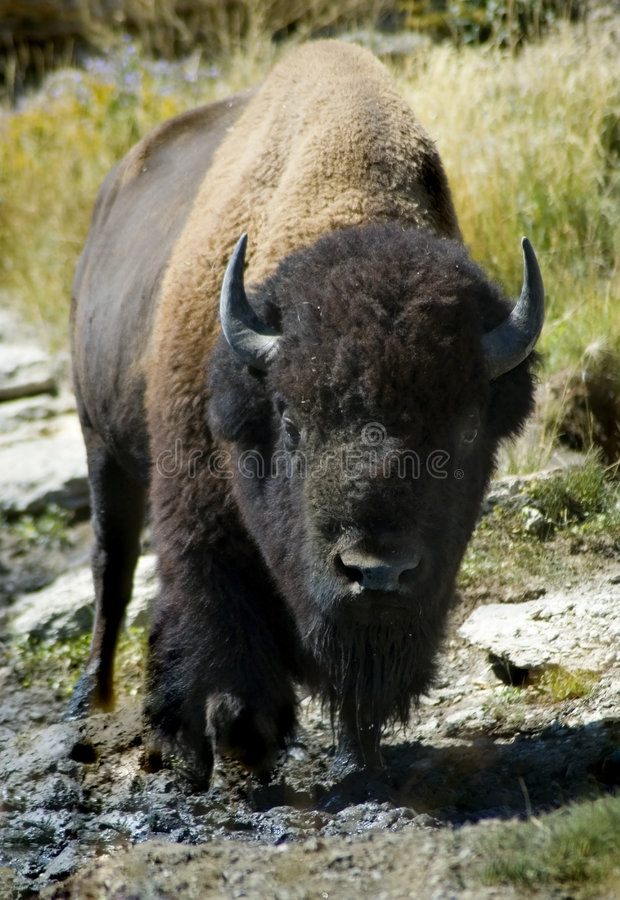 Head On American Bison. American bison (buffalo) of Yellowstone National Park, Wyoming staring head on into the camera stock photo