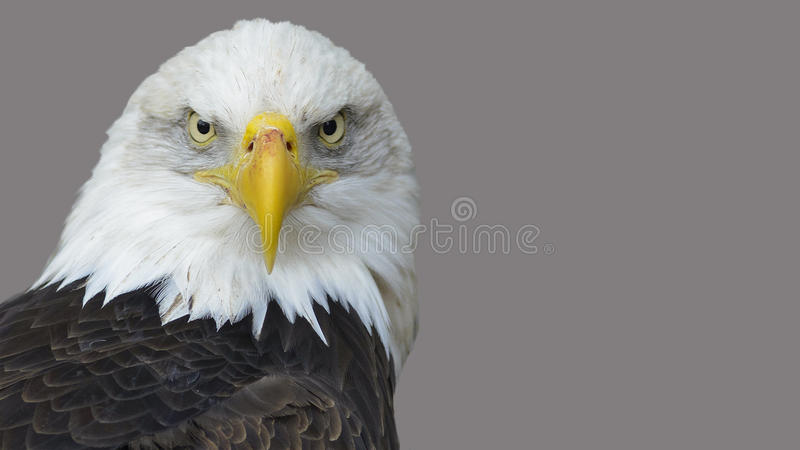 The head of the American eagle. stock photography
