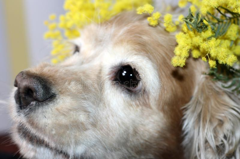 The head of an American Spaniel is fawn with a sprig of yellow spring mimosa flower stock photos