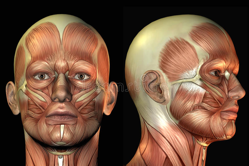 Download Head anatomy stock illustration. Image of illustration - 13259672