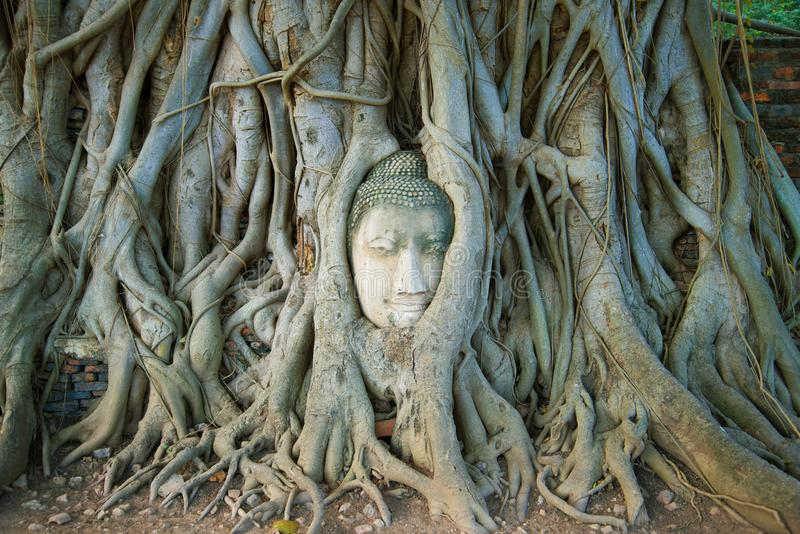 The head of the ancient Buddha sculpture is ingrown into the roots of the tree. Symbol of the city of Ayutthaya, Thailand royalty free stock photos