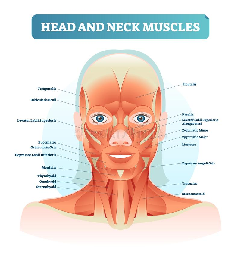 Free Head And Neck Muscles Labeled Anatomical Diagram, Facial Vector Illustration With Female Face, Health Care Educational Information Royalty Free Stock Image - 118338016