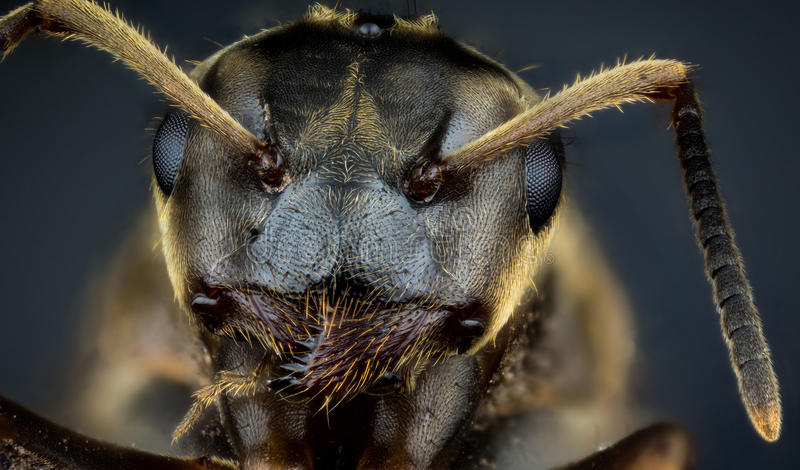 Head of ant. Detail of head of ant on dark background macro or micro photography royalty free stock image