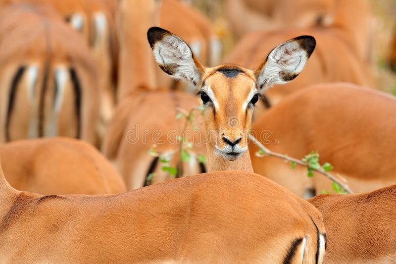 Head of antelope, funny image. Beautiful impalas in the grass with evening sun, hidden portrait in vegetation. Animal in the wild royalty free stock photo