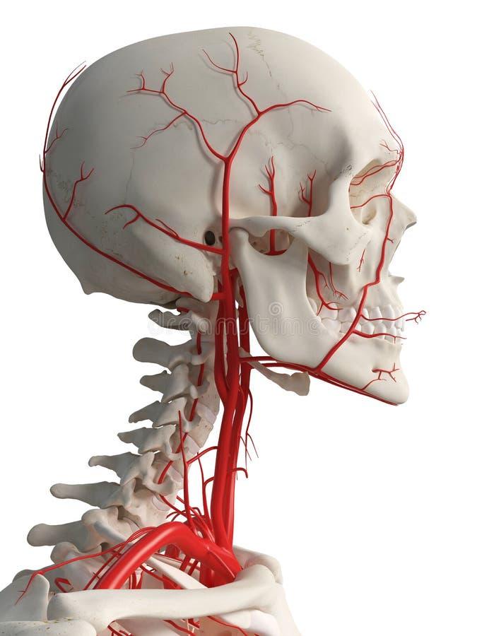The head arteries stock illustration