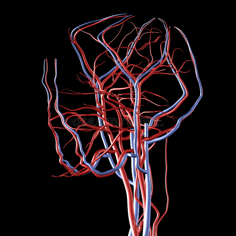 Head Arteries and Veins vector illustration
