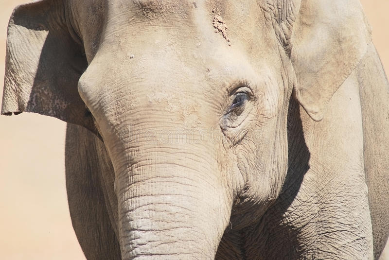 The head of an asian elephant royalty free stock photo