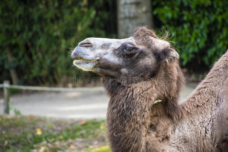 Head of a Bactrian camel, Camelus bactrianus is a large, even-toed ungulate native to the steppes of Central Asia.  stock images