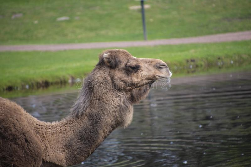 Head of a Bactrian camel, Camelus bactrianus is a large, even-toed ungulate native to the steppes of Central Asia.  royalty free stock photography