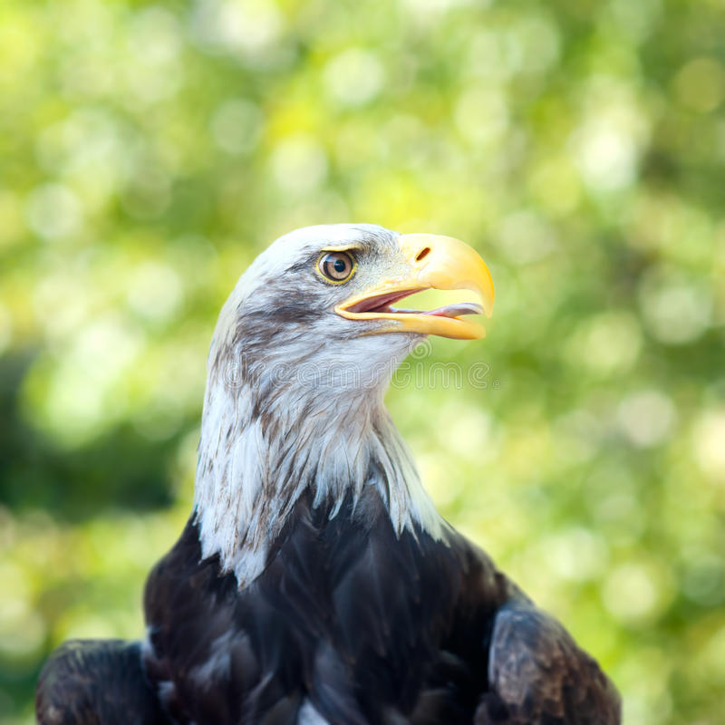 Download Head a bald eagle stock photo. Image of symbol, feathers - 16219956