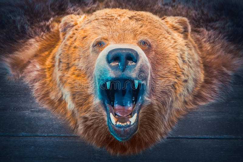 Head of Bear and skin. Hunting Trophy. stock photo