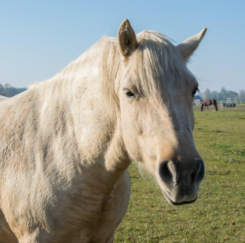 Head of a beautiful gray horse. Beautiful horse close-up royalty free stock image