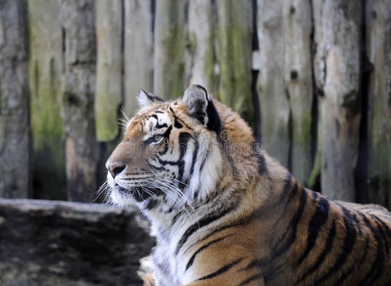 Head of a beautiful tiger
