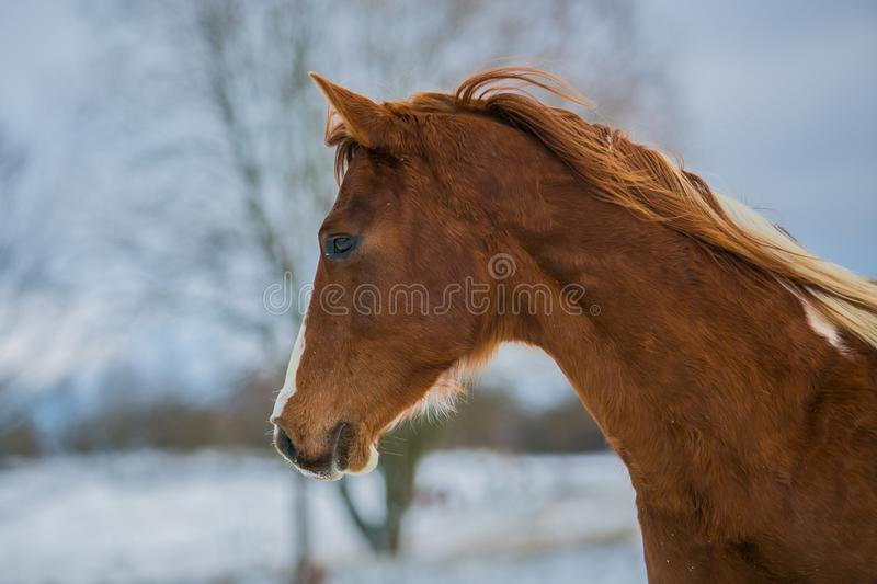 Head of beautiful young brown horse on a winter day stock image