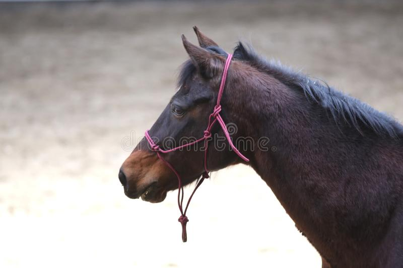 Portrait head shot closeup of a young saddle horse indoor royalty free stock photography