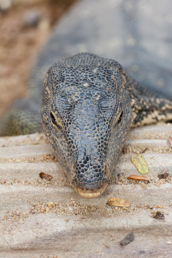 Head of Bengal monitor royalty free stock photography