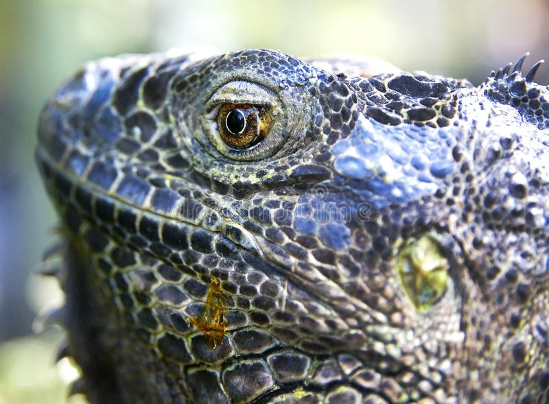 Head of big iguana. Nothing disturbs the peace of the big iguana. Keeps an eye on the environment royalty free stock images